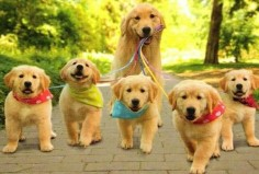 goldens on a walk with mom