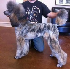 Gorgeous brindle poodle