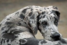 Great Dane | Top Ten Laziest Dog Breeds | PuppyLeaks