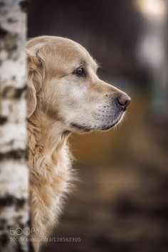 ~ GREAT GOLDEN PROFILE ~