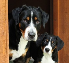 Greater Swiss Mountain Dog - I'm obsessed.
