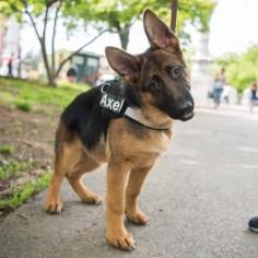 GSD Puppy-Axel