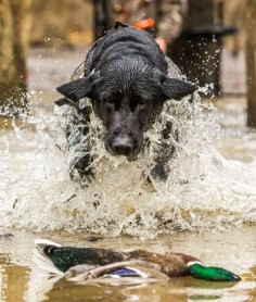 Gun Dog Training Tips: How to Correct Bad Behavior in the Blind #Dogs #Hunting