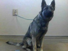 *HANDSOME - ID#A694523    Shelter staff named me HANDSOME.    I am a male, brown and black German Shepherd Dog.    The shelter staff think I am about 3 years old.    I have been at the shelter since Jan 18, 2013.