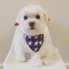 Happy Memorial Day🇺🇸! #happymemorialday #peace #thankyou #maltese #puppylove #dogsofinstagram #doglover #whitedog #fluffy #boy #popsugarpets #love #puppy #raisblack #bestofpack #cute #말티즈 #マルチーズ #dog #dogmodel #犬 #狗