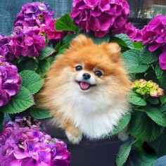 Happy #tongueouttuesday from my little flower girla rare Hydrangea Pomerania species! -------------------------------------------------- This is my entry for the #Sendadogphotospring Contest hosted by @sendadogphoto @dog_is_family @myndiandme @gsdofig  This is my entry for the #SportLeashBloomingFun contest hosted by @pupsonpar @miles jose @oli_the_aussie_  This is my entry for the #meowsandwoofs50k contest hosted by @Meows And Woofs Last Name by monique_ginger
