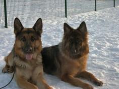 Hardy German Shepherds