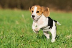 harrier dog | Beagle Harrier Pictures Beagle Harrier Puppies