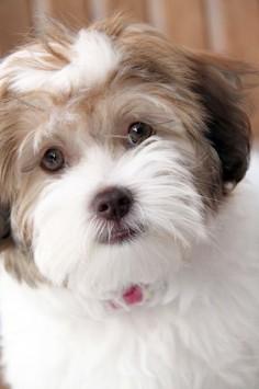 Havanese Puppy Dog. Pretty sure Rocket needs a sister.