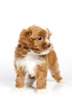 Havanese, small dog breeds