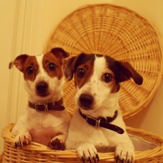 Have a good weekend everyone! ♡ Bobbin & Stitch #jackrussell #cute #puppy #dog #love #girl #instapuppy #dogoftheday #bestoftheday #ilovemydog #uk #jrt #lol #puppytales #dailypupdog #dogsofinstagram #dogofthedayjp #vintage #photography #twins #saturday #po | Flickr - Photo Sharing!