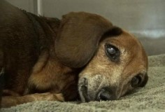 Heartbroken and scared, 12-year-old Dachshund barely moves in shelter kennel