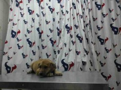 HEATHER - ID#A461688 I am ready to go! My name is HEATHER I am a spayed female, brown Labrador Retriever. The shelter staff think I am about 14 weeks old. I have been at the shelter since Jun 15, 2016. This information was refreshed 23 minutes ago and may not represent all of the animals at the Harris County Public Health and Environmental Services.