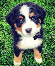 Heidi-the-Bernese-Mountain-Dog The Daily Puppy
