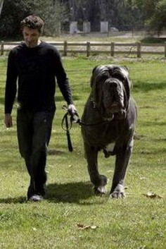 Hercules is an English Mastiff and who has a 38 inch neck and weighs 282 pounds.
