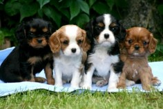 HERE ARE THE 4 TYPES OF Cavalier King Charles SpanielS