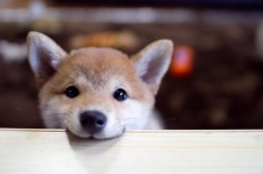 Hey there cute little #ShibaInu. The Shiba Inu puppy is so cute!