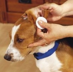 Homemade dog ear cleaner: 1:1 ratios of either white vinegar  water or white vinegar  witch hazel.
