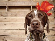 how can you not love a GSP?