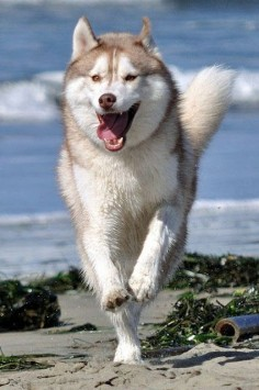 How fast can a Siberian Husky run?.Click the picture to read