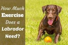 How much exercise does a Labrador need: Choc lab waiting to play fetch