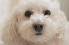 How to Get Rid of Tear Stains on a White Puppy Naturally | eHow