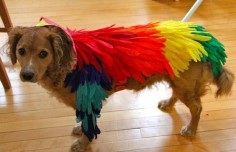 How to Make a Bird Costume for a Dog. Make a falcon for my Maltese falcon!