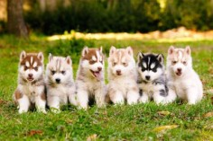 Huskies come in all colors!