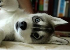 Husky~~~