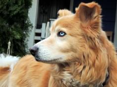 husky golden retriever mix full grown - Google Search