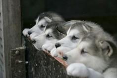 Husky Puppies!!!!!!!