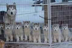 husky puppies who will grow up to be sled dogs