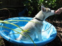 Husky puppy Lara doing a Sit in her little puppy pool.