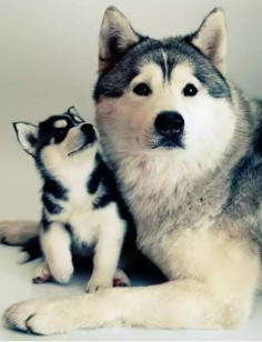 Husky siberian Descriere Siberian Husky puppy One Little cute puppy of Siberian…