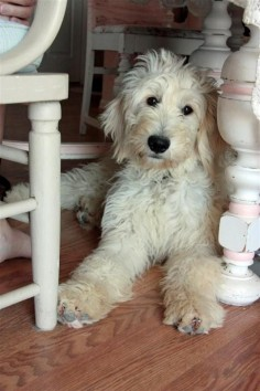 I always wanted another golden doodle that was female and white for jack to hang out with. I'd name her Jill. ♥