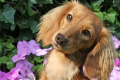 I didn't necessarily choose to become a Dachshund owner. I mean I CHOSE to adopt Chester but I had to idea about Dachshunds when he came into my life. I was a clueless Dachshund owner for yea…