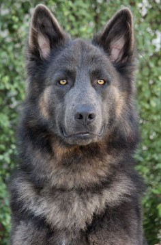I didn't think he was a purebred GSD until I clicked the link. His coloring is incredible