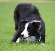 I have a border collie♥