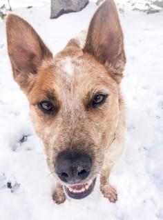 """I like snow!"" #SeanDuFrene #RedHeeler #AustralianCattleDog #Dogs #Bourbon #Snow"