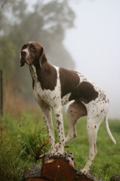 I may not be golden, but I am a beautiful gun dog who points and retrieves!!! English Pointer