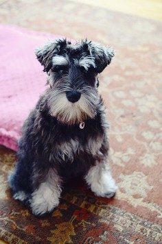 :( I miss my boys, Riley & Chancer.  Kinley still cries for them and begs for a new dog every week (just did today), heart 't wait to get another Schnauzer or  on move, you can't get here fast  (Valerie D.)