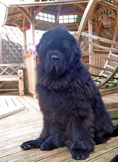 "I realized that I didn't have a ""big"" dog here. A Newfie fits the bill!"