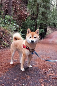I REEEEAAAAAALLLY want a Shiba. They're so cute. Just the thought of having my own  happy, much excited, wow.