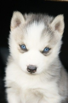 I want a husky puppy.
