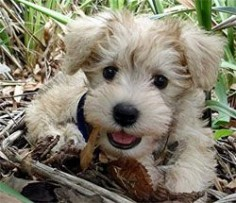 I want another Schnoodle puppy! Wonder how B would take ❤