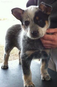 I WANT HIM!!! Australian Cattle Dog Pictures (o566qnf58y6)