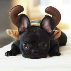 """I WAS a French Bulldog  guess I'm now a Reindeer""."