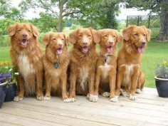 I will probably have a toller pack looking like this one day and a puggle lol