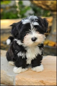 I'm generally a big dog person, but even I have trouble resisting the Havanese. They are so cute and sweet!