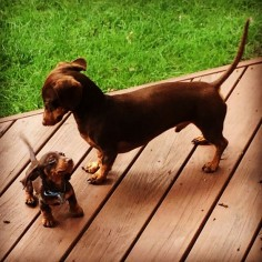 """I'm older and you have to listen or I'll tell mama!"" #dogs #pets #Dachshunds #puppies"